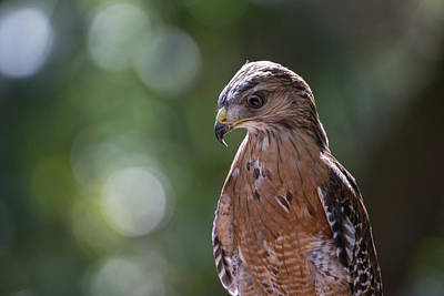 Accipitridae Photograph - Portrait Of A Perched Hawk With Intense by Sheila Haddad