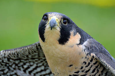 Photograph - Portrait Of A Peregrine Falcon by Kathleen Stephens