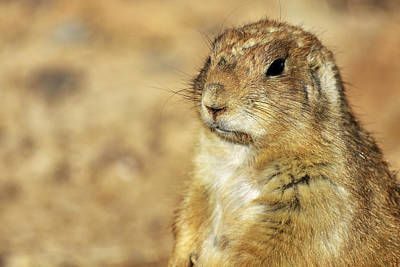 Photograph - Portrait Of A Prairie Dog by Jason Politte