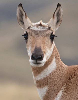 Photograph - Portrait Of A Pronghorn by Linda Shannon Morgan