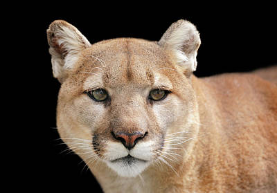 Photograph - Portrait Of A Puma Looking Beyond The by Freder