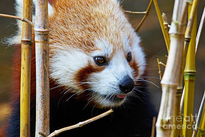 Photograph - Portrait Of A Red Panda  by Nick  Biemans