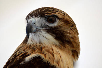 Photograph - Portrait Of A Red-tailed Hawk by Kathleen Stephens