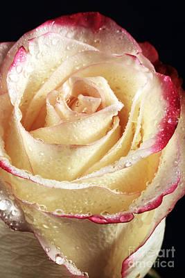 Portrait Of A Rose Art Print by John Rizzuto