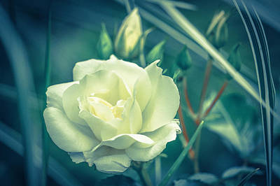 Photograph - Portrait Of A Rose by Ronda Broatch