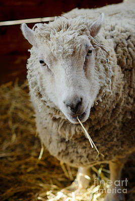 Portrait Of A Sheep Eating Hay Art Print by Amy Cicconi