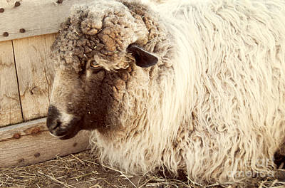Photograph - Portrait Of A Sheep by Juli Scalzi