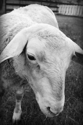 Photograph - Portrait Of A Sheep by Kelly Hazel