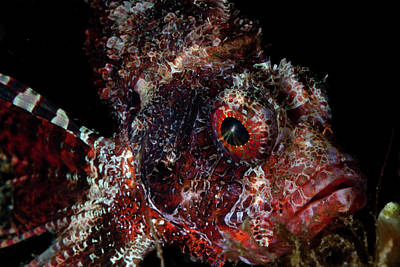 Photograph - Portrait Of A Shortfin Lionfish, Lembeh by Alessandro Cere
