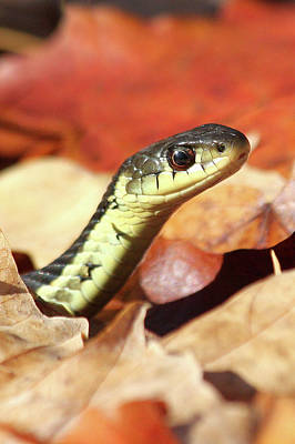 Print featuring the photograph Portrait Of A Snake by Doris Potter