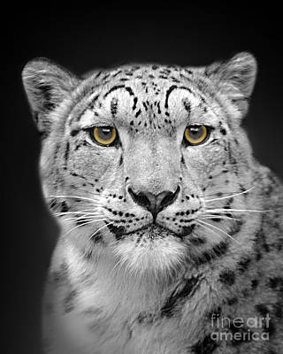Photograph - Portrait Of A Snow Leopard by Linsey Williams