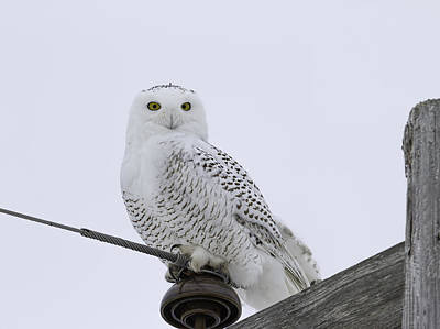 Telephone Poles Photograph - Portrait Of A Snowy Owl by Thomas Young