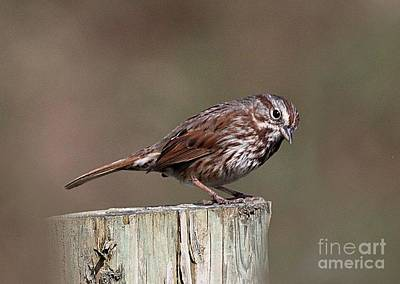 Photograph - Portrait Of A Sparrow by Erica Hanel