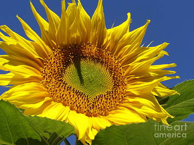 Photograph - Portrait Of A Sunflower by Diane Miller