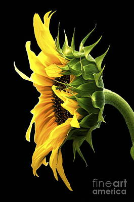 Portrait Of A Sunflower Art Print by Gwyn Newcombe