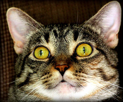 Cats Photograph - Portrait Of A Tabby by Aurelio Zucco