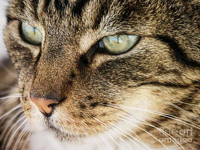 Photograph - Portrait Of A Tabby Cat by Peggy Hughes