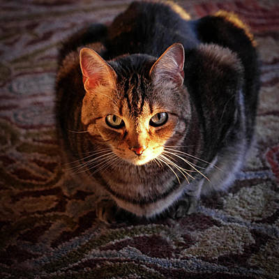 Tabby Cat Photograph - Portrait Of A Tabby Cat With Sunlight by Al Petteway & Amy White