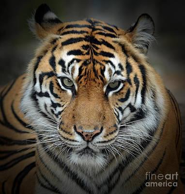 Portrait Photograph - Portrait Of A Tiger Fade To Black by Jim Fitzpatrick