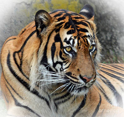 Photograph - Portrait Of A Tiger Fade To White Version by Jim Fitzpatrick