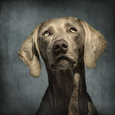 Portrait Of A Weimaraner Dog Art Print by Wolf Shadow  Photography
