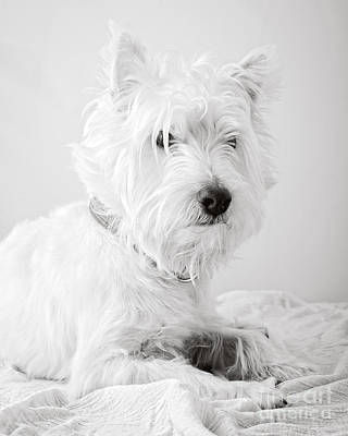 Cute Puppy Photograph - Portrait Of A Westie by Edward Fielding