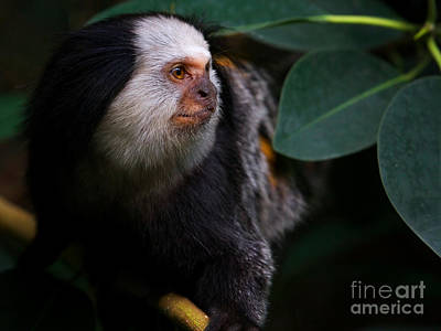 Photograph - Portrait Of A White-headed Marmoset  by Nick  Biemans