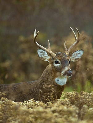 Photograph - Portrait Of A White Tailed Buck by John Vose