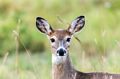 Photograph - Portrait Of A Whitetail Deer by Mary Carol Story