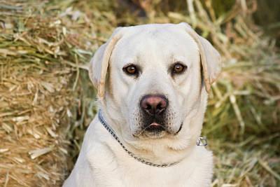Portrait Of A Yellow Labrador Retriever Art Print