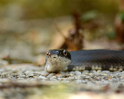 Photograph - Portrait Of A Young Black Rat Snake by Rebecca Sherman