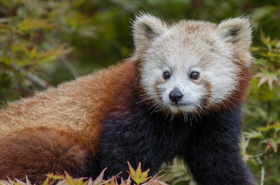 Photograph - Portrait Of A Young Mammal As A Red Panda by Greg Nyquist