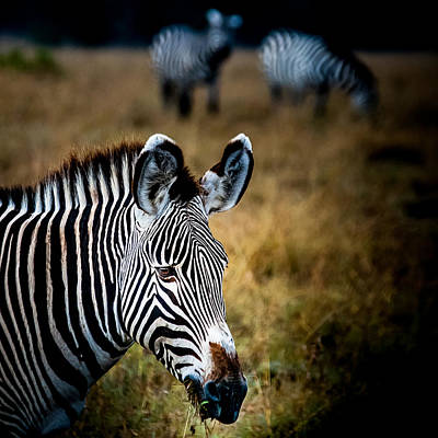 Photograph - Portrait Of A Zebra by Jim DeLillo