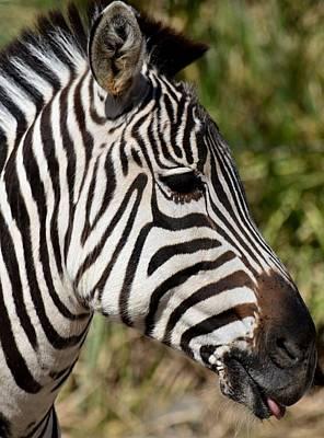 Portrait Of A Zebra Art Print by Maria Urso