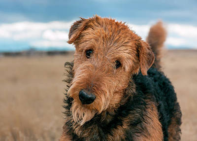 Airedale Terrier Photograph - Portrait Of An Airedale Terrier (mr & Pr by Zandria Muench Beraldo