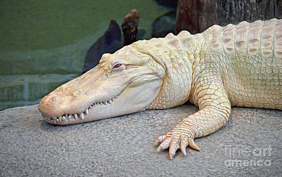 Photograph - Portrait Of An Albino Alligator II by Jim Fitzpatrick
