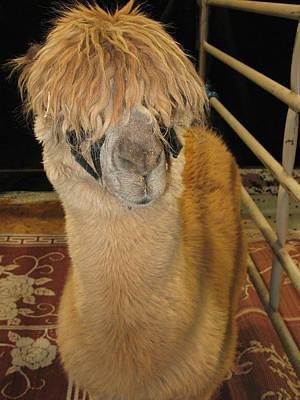 Photograph - Portrait Of An Alpaca by Connie Fox