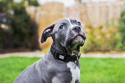 Portrait Of An American Bulldog Puppy Art Print by Veravanoudheusden