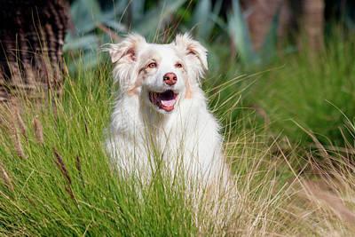Australian Shepherd Photograph - Portrait Of An Australian Shepherd by Zandria Muench Beraldo