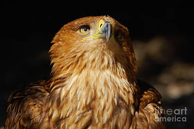 Red Roses - Portrait of an Eastern Imperial Eagle by Nick  Biemans