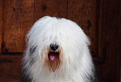 Herding Dog Photograph - Portrait Of An Old English Sheepdog by Zandria Muench Beraldo