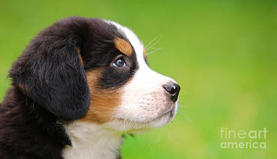 Companion Photograph - Portrait Of Bernese Mountain Dog by Michal Bednarek