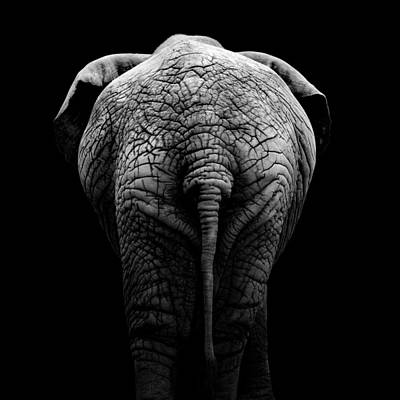 Black White Photograph - Portrait Of Elephant In Black And White II by Lukas Holas