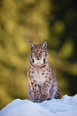 Portrait Of Eurasian Lynx (lynx Lynx Art Print by Martin Zwick