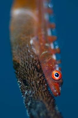 Portrait Of Goby On Sea Whip Art Print by Science Photo Library
