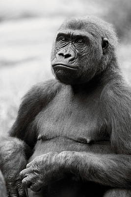Photograph - Portrait Of Gorilla - Black And White by Angela Rath