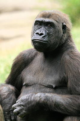 Photograph - Portrait Of Gorilla by Angela Rath