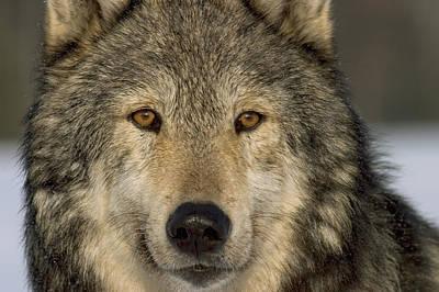 Portrait Of Grey Wolf Captive Alaska Se Art Print by John Hyde