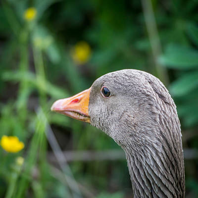 Gosling Photograph - Portrait Of Greylag Goose, Iceland by Panoramic Images