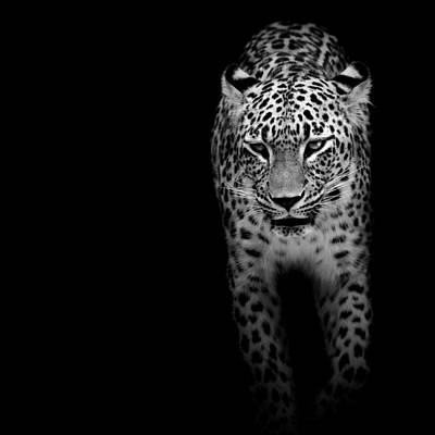 Black And White Photograph - Portrait Of Leopard In Black And White II by Lukas Holas